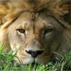 תרכיבו את כל החלקים בפאזל עד שתשלימו את התמונה של האריה.